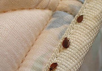Bed Bugs From Your Home Brisbane