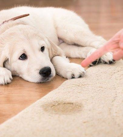 Pet Stain and Odour Removal From Carpet Burnside