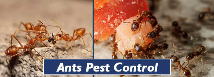 Ants Pest Control Wrights Creek