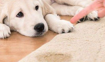 Pet Stain and Odour Removal From Carpet
