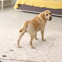 Pet Stain and Odour Removal Forest Lake